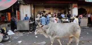 Mob kills Muslim man transporting cows in India